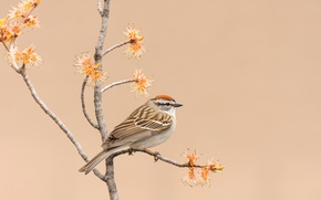 Picture nature, bird, branch, common passerine Bunting
