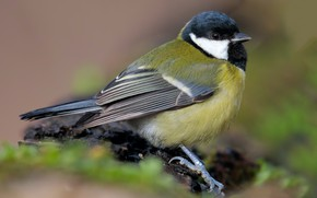 Picture close-up, nature, background, bird, tit