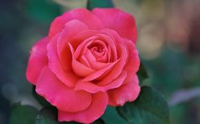 Picture leaves, rose, petals, Bud, rose, flowering