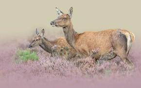 Picture animals, nature, pair, deer