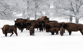 Picture winter, snow, Germany, the herd, Hesse, Buffalo