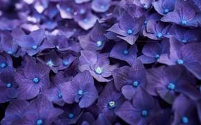 Wallpaper splendor, blue, hydrangea, petals, blue, splendor, petals, flowers, hydrangea, flowers