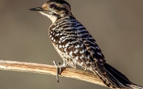 Picture bird, branch, tail, Texas woodpecker