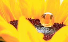 Picture flower, drop, sunflower, petals