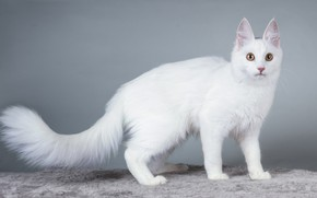 Picture cat, cat, look, background, kitty, white cat