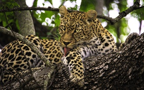 Picture branches, tree, predator, leopard, wild cat