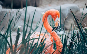 Picture bird, feathers, Flamingo, long neck