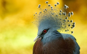 Picture nature, bird, Victoria crowned Pigeon