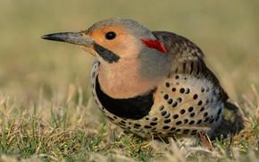 Picture grass, close-up, branches, nature, background, bird, woodpecker, beautiful, sitting, bright plumage, motley, bird, woodpecker Golden, …