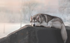 Picture stay, stone, dog, Husky