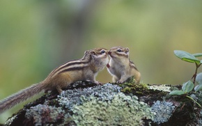 Picture Japan, Hokkaido, rodent, chipmunks, Asian Chipmunk, Kushiro