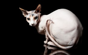 Picture cat, eyes, cat, black background, Sphinx