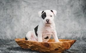 Wallpaper dog, puppy, amstaff, American Staffordshire Terrier