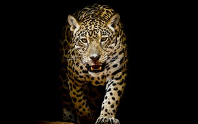 Wallpaper background, black, leopard