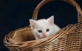 Picture look, kitty, background, basket, baby, muzzle, white kitten
