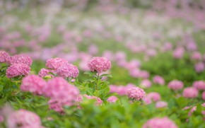 Wallpaper flowers, flowers, hydrangea, pink, pink