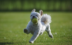 Picture each, dog, the ball, lawn, Shih Tzu