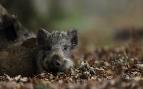 Picture autumn, leaves, Nature, Pig