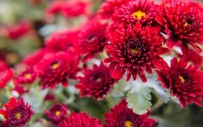 Picture flowers, red, Bush, flowering, chrysanthemum