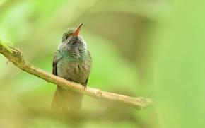 Picture nature, bird, branch, beak, Hummingbird
