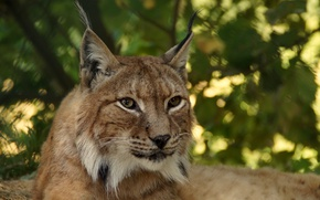 Picture look, stay, Lynx