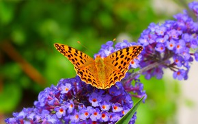 Picture Macro, Spring, Butterfly, Spring, Macro, Purple flowers, Butterfly, Purple flowers