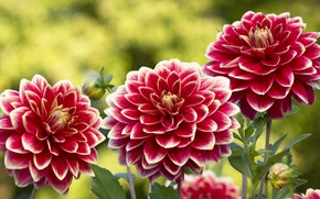 Wallpaper buds, trio, summer, petals, dahlias, bright, garden, background, flowers