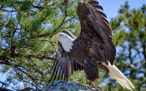 Picture wings, beak, bald eagle, bald eagle