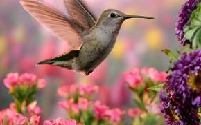 Picture flowers, nature, Hummingbird, bird, bokeh