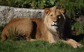 Picture Cat, Leo, Mane, Male