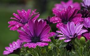 Picture drops, petals, Osteospermum