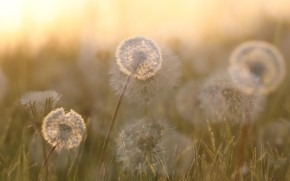 Picture nature, fog, dandelions