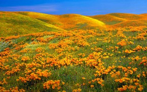 Picture flowers, Maki, USA, reserve, Antelope Valley California Poppy Reserve