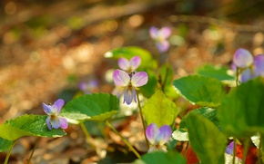 Wallpaper Viola tricolor, Nature, Spring, Flowers, Spring, Nature