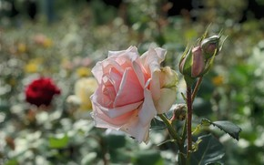 Picture summer, flowers, roses, flowerbed