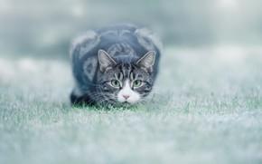 Wallpaper cat, grass, eyes, lawn
