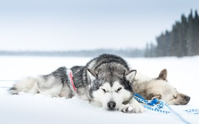 Picture cold, dogs, snow