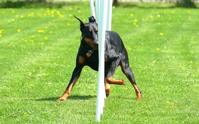 Picture grass, Doberman, dandelions, snake, training, obstacles, black and tan