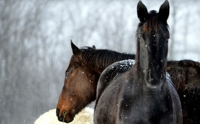 Picture winter, snow, horses