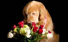 Picture face, flowers, roses, bouquet, red, red, white, black background, Retriever