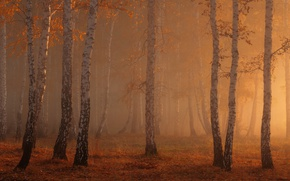 Picture autumn, forest, light, nature, birch