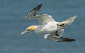 Picture flight, bird, wings, the Northern Gannet