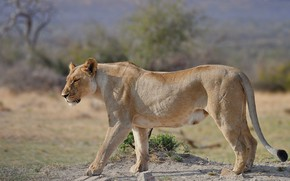 Picture nature, walk, lioness