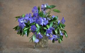 Picture flowers, nature, plants, still life, flora, periwinkle