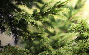 Picture needles, branches, background, spruce