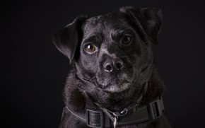 Picture background, black, dog, dog
