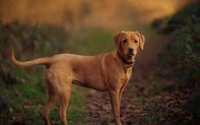 Picture look, handsome, Labrador