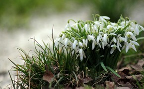 Picture forest, flowers, nature, stream, foliage, spring, flora, Galanthus