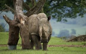 Wallpaper nature, beauty, Rhino