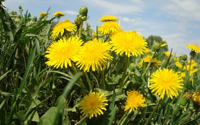 Wallpaper mood, dandelions, solar